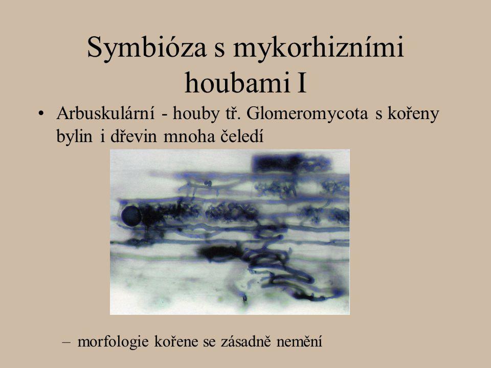Symbióza s mykorhizními houbami I Arbuskulární - houby tř. Glomeromycota s kořeny bylin i dřevin mnoha čeledí –morfologie kořene se zásadně nemění