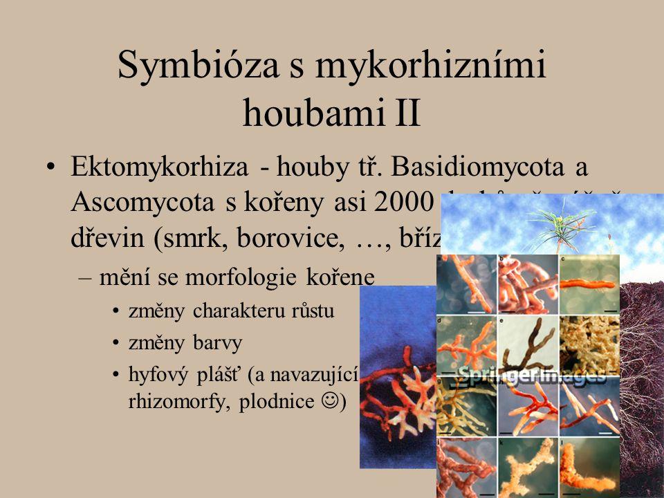 Symbióza s mykorhizními houbami II Ektomykorhiza - houby tř. Basidiomycota a Ascomycota s kořeny asi 2000 druhů převážně dřevin (smrk, borovice, …, bř