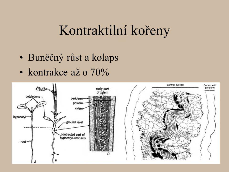 Kontraktilní kořeny Buněčný růst a kolaps kontrakce až o 70%