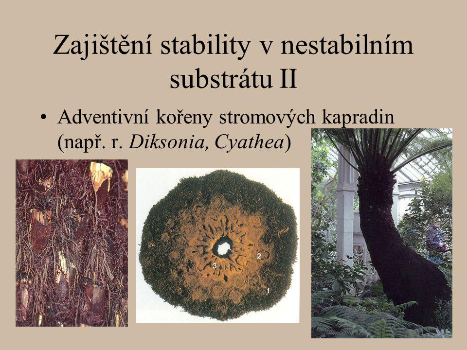 Adventivní kořeny stromových kapradin (např. r. Diksonia, Cyathea) Zajištění stability v nestabilním substrátu II