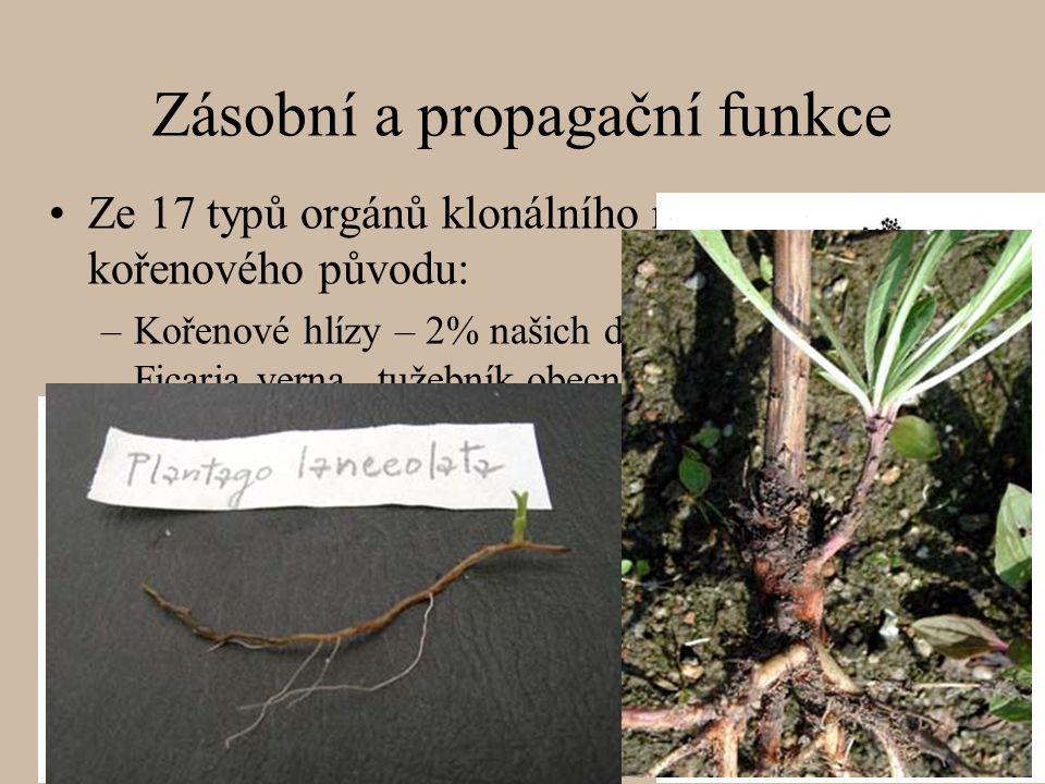 Ze 17 typů orgánů klonálního růstu 3 jsou kořenového původu: –Kořenové hlízy – 2% našich druhů (např. orsej jarní - Ficaria verna,, tužebník obecný -