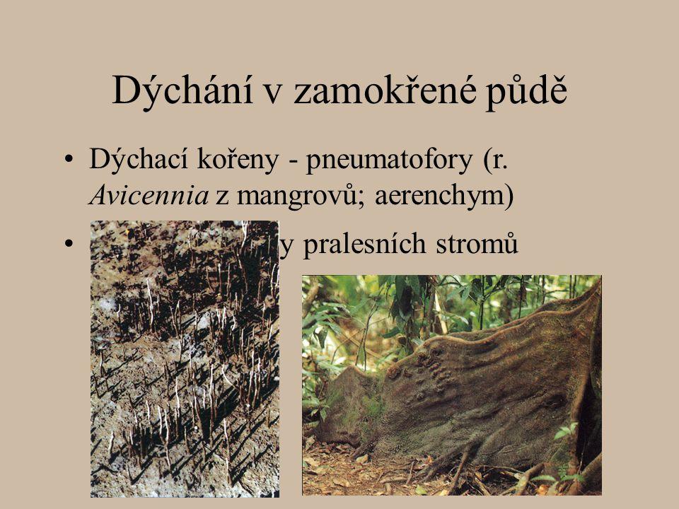 Dýchání v zamokřené půdě deskovité kořeny pralesních stromů Dýchací kořeny - pneumatofory (r. Avicennia z mangrovů; aerenchym)