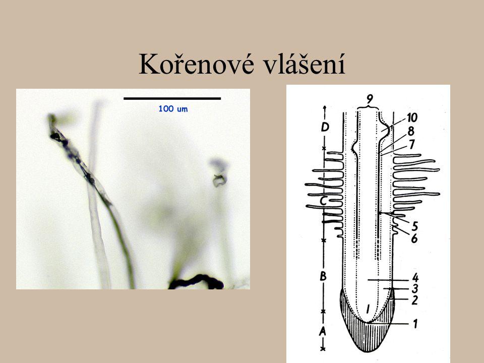 Kořenové vlášení