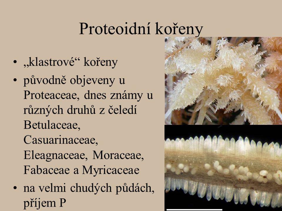 """Proteoidní kořeny """"klastrové"""" kořeny původně objeveny u Proteaceae, dnes známy u různých druhů z čeledí Betulaceae, Casuarinaceae, Eleagnaceae, Morace"""