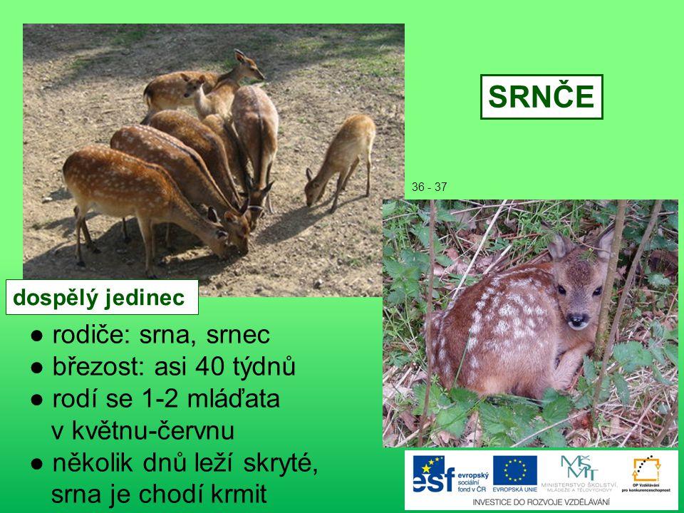 ● rodiče: veverka, veverčák ● páření: jaro - léto ● březost: 38-39 dní ● rodí se 3-4 mláďata ● narozené mládě - slepé (vidí po 4 týdnech) - téměř holé