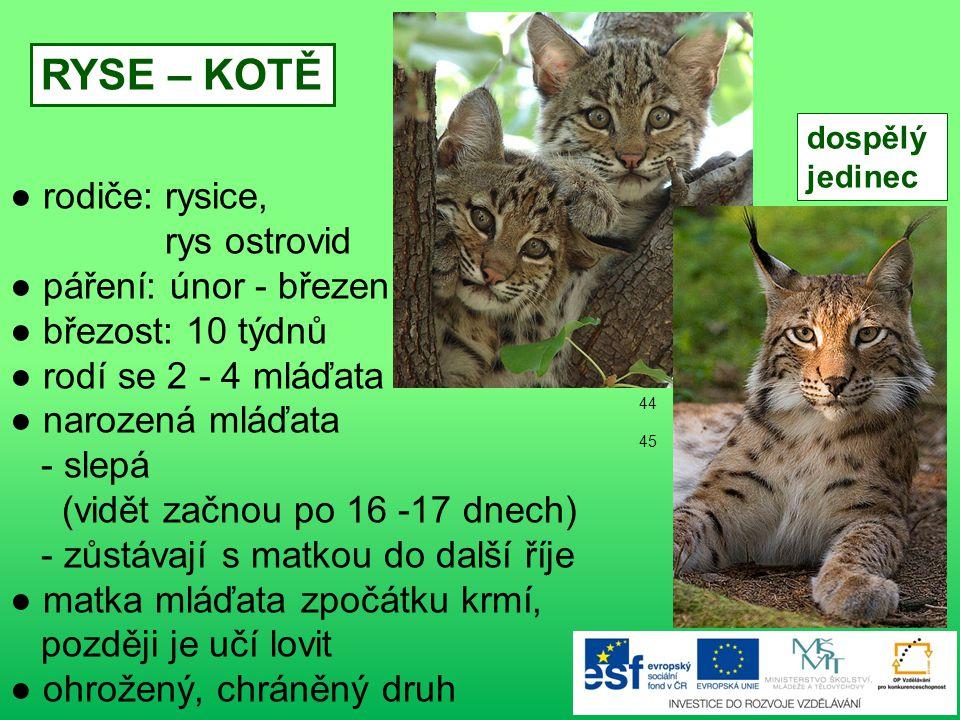 ● rodiče: muflonka, muflon ● březost: 150-170 dnů ● rodí se 1-2 mláďata: v březnu - květnu MUFLONČE dospělý jedinec 42 - 43