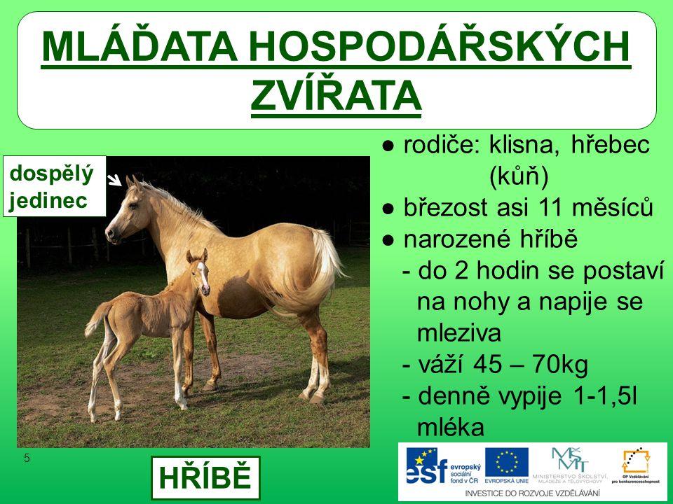 MLÁĎATA HOSPODÁŘSKÝCH ZVÍŘATA ● rodiče: klisna, hřebec (kůň) ● březost asi 11 měsíců ● narozené hříbě - do 2 hodin se postaví na nohy a napije se mleziva - váží 45 – 70kg - denně vypije 1-1,5l mléka HŘÍBĚ dospělý jedinec 5