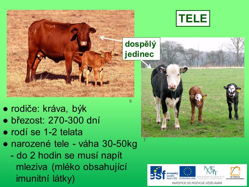 ● rodiče: kráva, býk ● březost: 270-300 dní ● rodí se 1-2 telata ● narozené tele - váha 30-50kg - do 2 hodin se musí napít mleziva (mléko obsahující imunitní látky) TELE dospělý jedinec 6 7