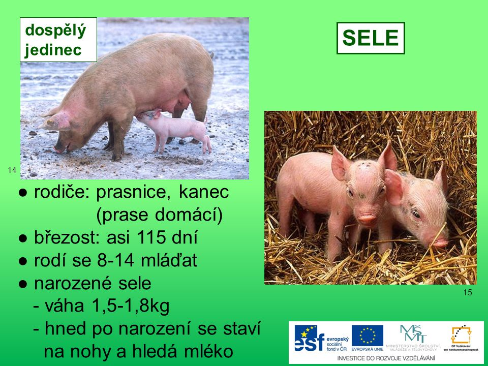 ● rodiče: ovce, beran ● březost: asi 143-157 dnů ● rodí se 1-2 jehňata ● narozené jehně - váha 3-5kg - také pije mlezivo JEHNĚ dospělý jedinec 13 12