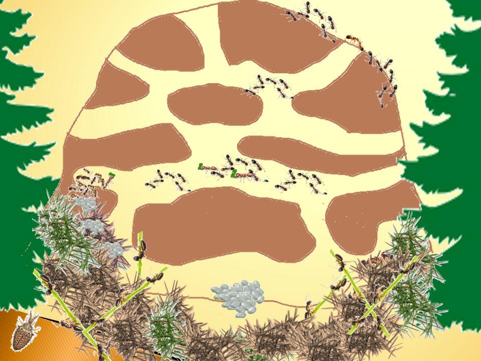 MRAVENIŠTĚ  Mraveniště - je hnízdo mravenců, bývá pod kamenem, v zemi nebo v mrtvém dřevě. Podzemní hnízdo je s povrchem spojeno otvůrky. Nadzemní ku