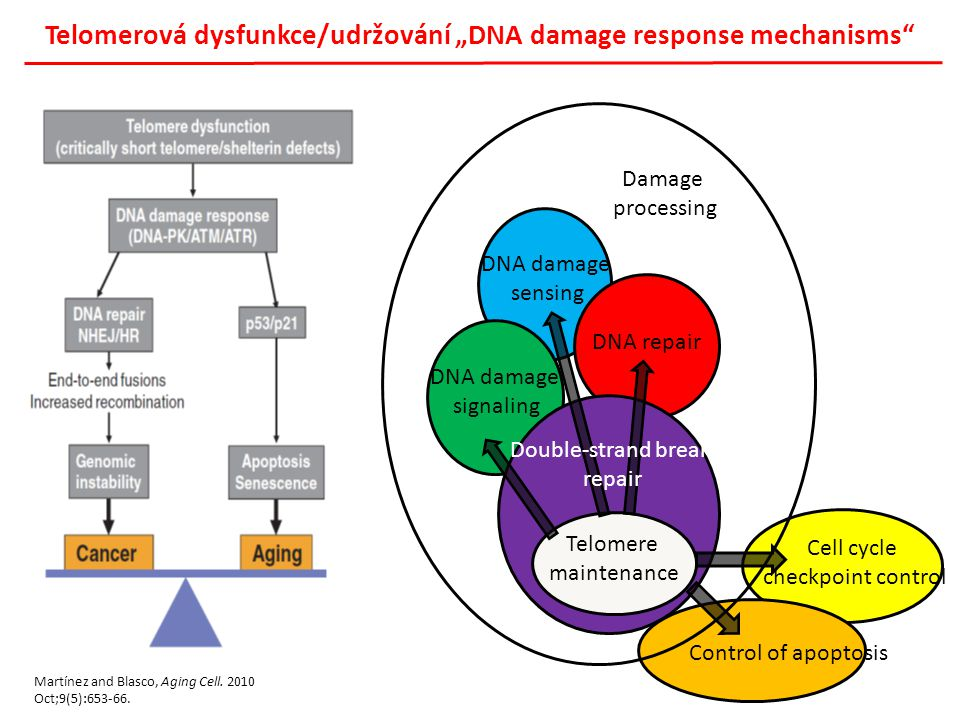 "Telomerová dysfunkce/udržování ""DNA damage response mechanisms"" Control of apoptosis Cell cycle checkpoint control DNA damage sensing DNA repair DNA d"