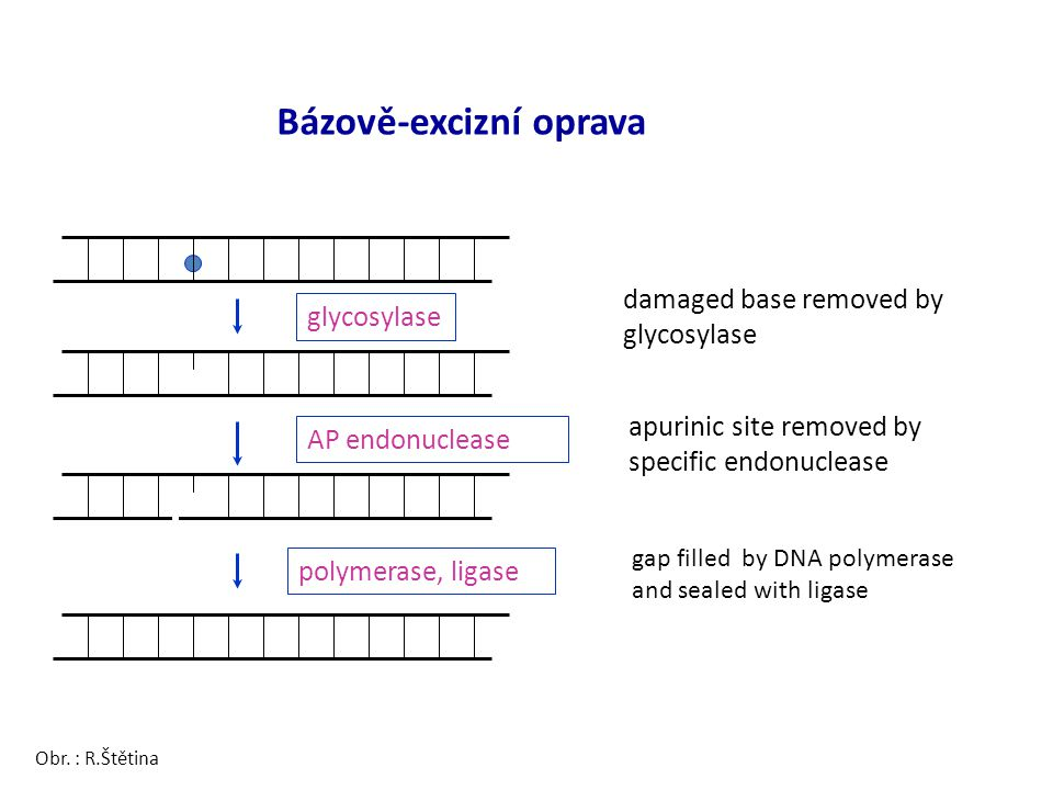 Bázově-excizní oprava damaged base removed by glycosylase glycosylase AP endonuclease polymerase, ligase apurinic site removed by specific endonucleas