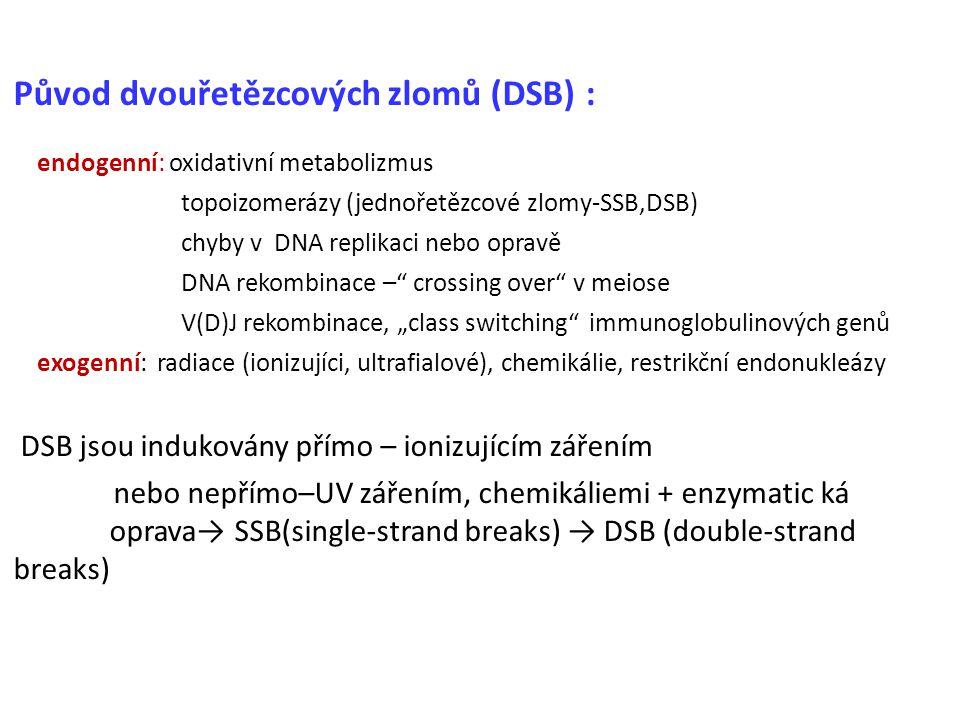 Původ dvouřetězcových zlomů (DSB):: endogenní: oxidativní metabolizmus topoizomerázy (jednořetězcové zlomy-SSB,DSB) chyby v DNA replikaci nebo opravě