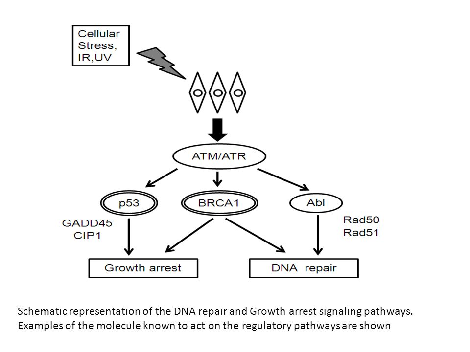 Schematic representation of the DNA repair and Growth arrest signaling pathways. Examples of the molecule known to act on the regulatory pathways are