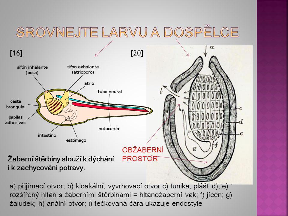 STRUNA HŘBETNÍ NERVOVÁ TRUBICE [16] Larvy jsou pohyblivé s vyvinutou chordou, nervovou trubicí a metamerním svalstvem.