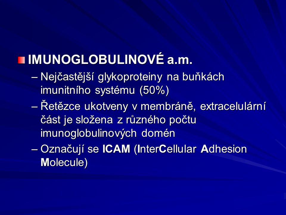 IMUNOGLOBULINOVÉ a.m. –Nejčastější glykoproteiny na buňkách imunitního systému (50%) –Řetězce ukotveny v membráně, extracelulární část je složena z rů
