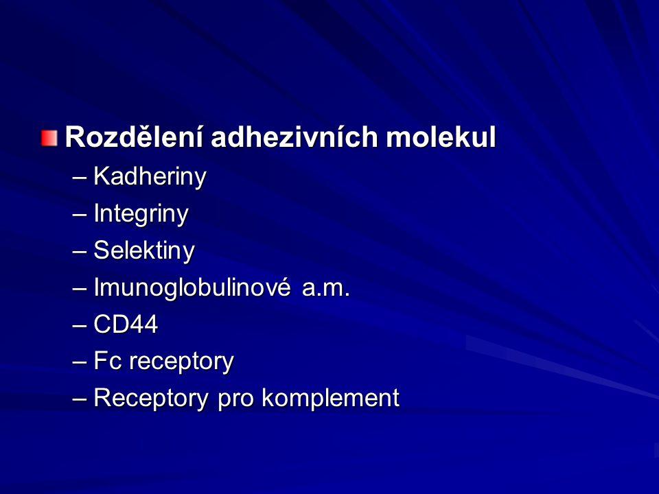 Rozdělení adhezivních molekul –Kadheriny –Integriny –Selektiny –Imunoglobulinové a.m. –CD44 –Fc receptory –Receptory pro komplement