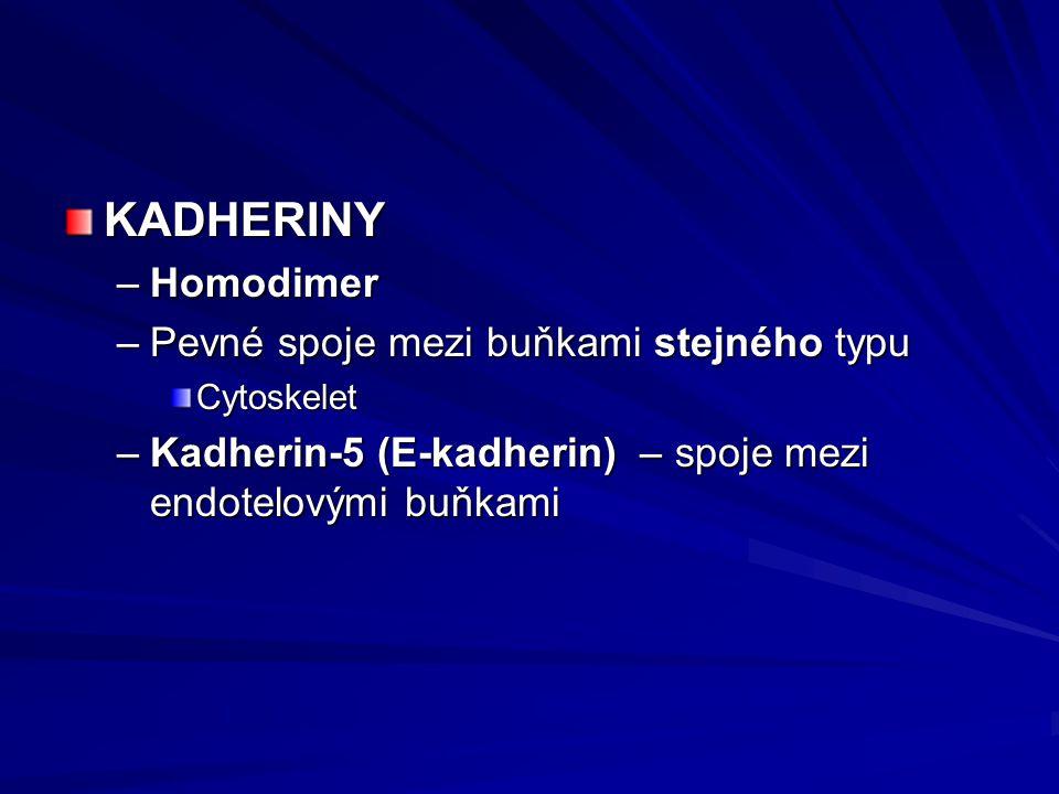 KADHERINY –Homodimer –Pevné spoje mezi buňkami stejného typu Cytoskelet –Kadherin-5 (E-kadherin) – spoje mezi endotelovými buňkami