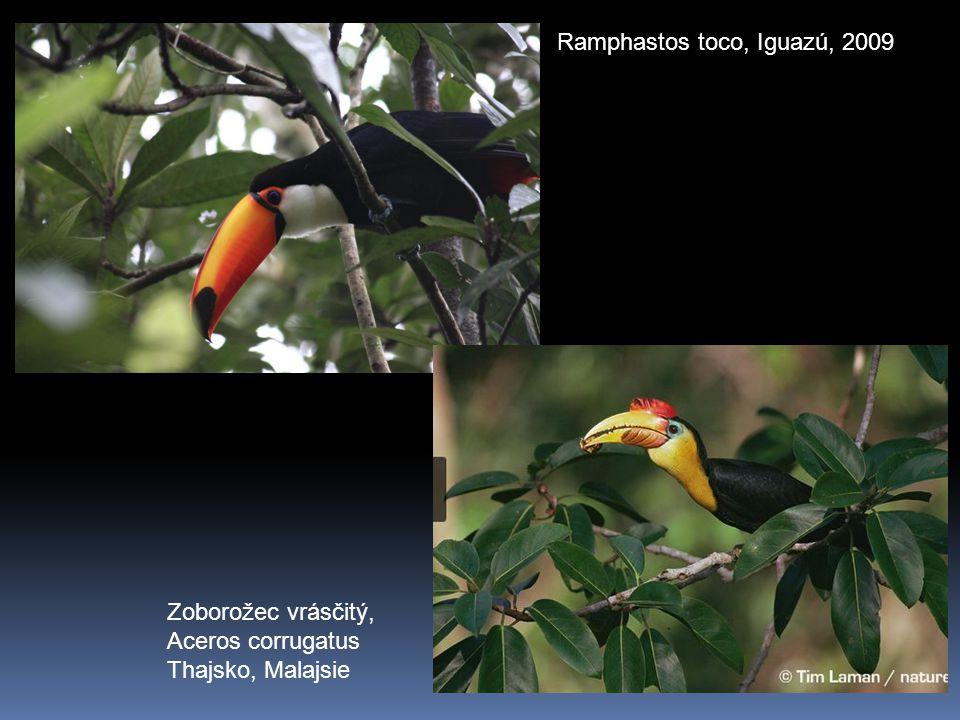 Ramphastos toco, Iguazú, 2009 Zoborožec vrásčitý, Aceros corrugatus Thajsko, Malajsie
