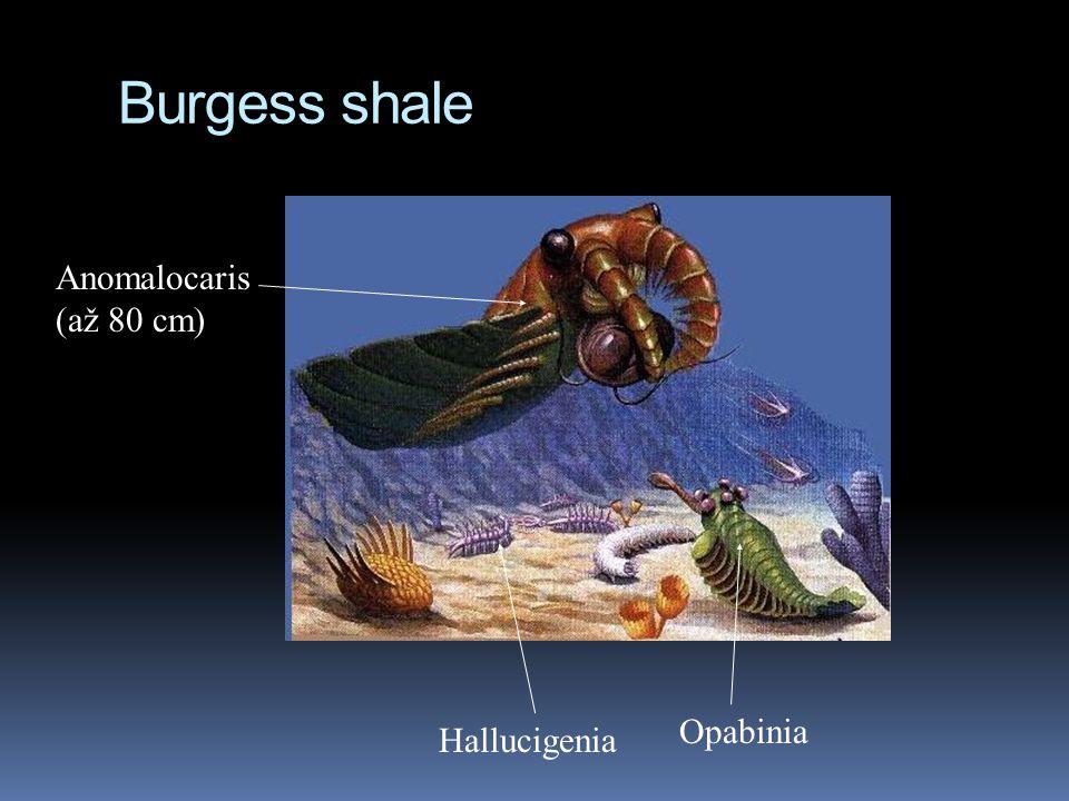 Burgess shale Anomalocaris (až 80 cm) Hallucigenia Opabinia