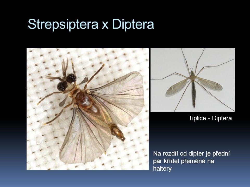 Strepsiptera x Diptera Na rozdíl od dipter je přední pár křídel přeměně na haltery Tiplice - Diptera