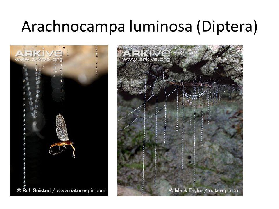 Arachnocampa luminosa (Diptera)