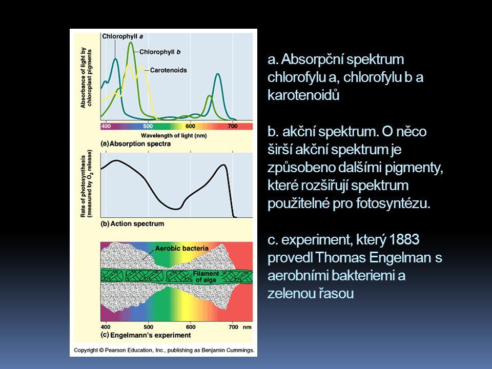 a. Absorpční spektrum chlorofylu a, chlorofylu b a karotenoidů b. akční spektrum. O něco širší akční spektrum je způsobeno dalšími pigmenty, které roz