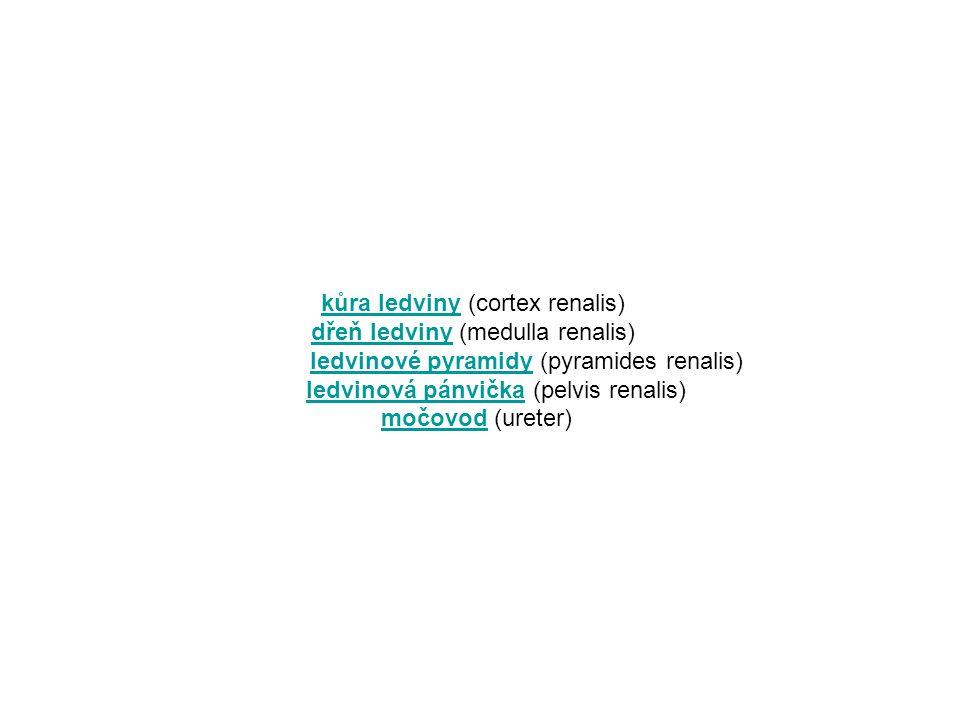 Stavba: Základní funkční jednotkou ledviny je nefron.
