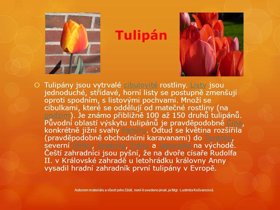 Tulipán  Tulipány jsou vytrvalé cibulovité rostliny.