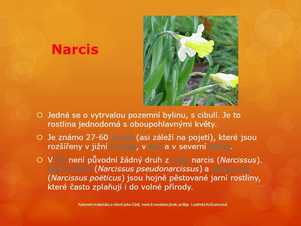 Narcis  Jedná se o vytrvalou pozemní bylinu, s cibulí.