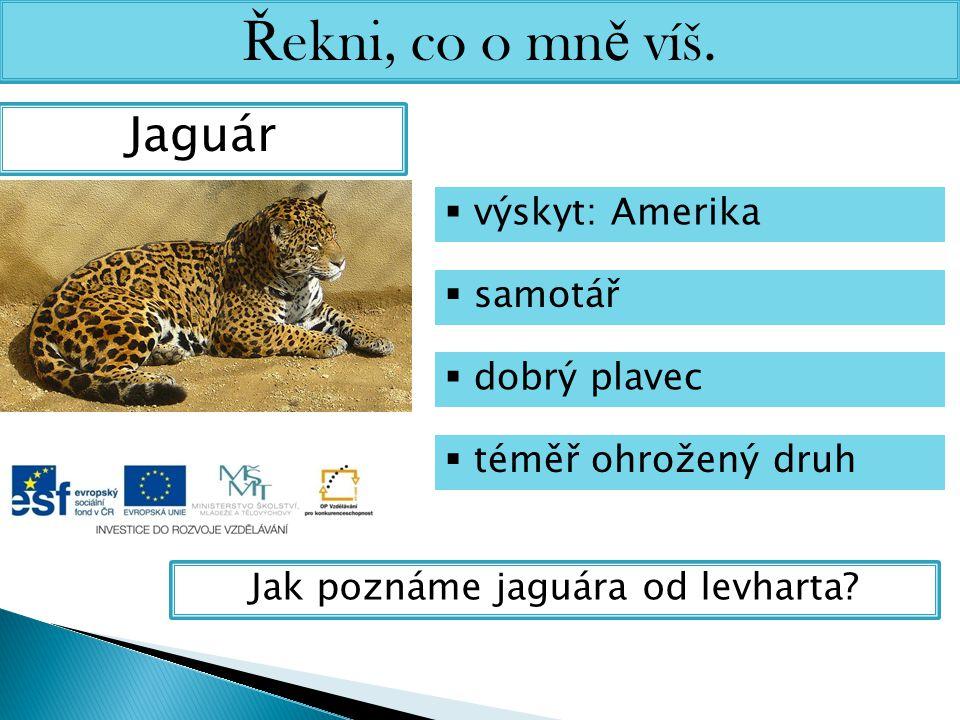 Ř ekni, co o mn ě víš. Jaguár  výskyt: Amerika  samotář  dobrý plavec  téměř ohrožený druh Jak poznáme jaguára od levharta?