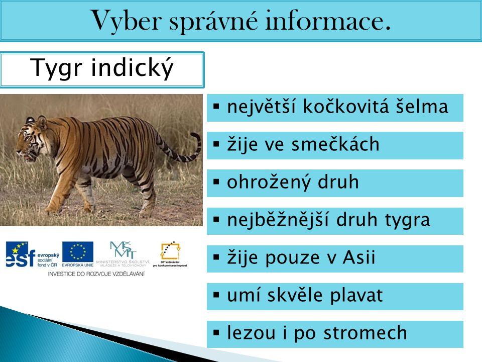 Vyber správné informace. Tygr indický  největší kočkovitá šelma  žije ve smečkách  ohrožený druh  nejběžnější druh tygra  žije pouze v Asii  umí