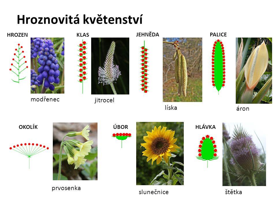 Hroznovitá květenství HROZEN modřenec KLAS jitrocel OKOLÍK prvosenka JEHNĚDA líska PALICE áron HLÁVKA štětka ÚBOR slunečnice