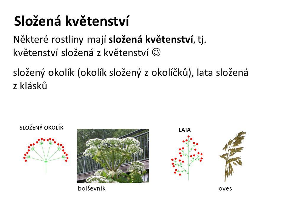 Složená květenství SLOŽENÝ OKOLÍK bolševník LATA oves Některé rostliny mají složená květenství, tj. květenství složená z květenství složený okolík (ok