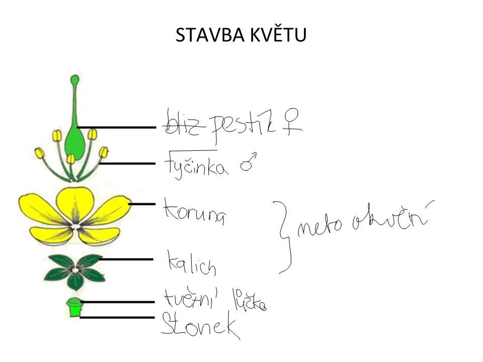 Květní obaly - lístky vznikly přeměnou listů, mohou i zcela chybět slouží k ochraně pohlavních orgánů a lákání opylovačů Nerozlišené květní lístkyRozlišené květní lístky stejný tvar a velikost – OKVĚTÍkalich – zelené vnější lístky koruna - barevné vnitřní lístky Tulipán zahradníJaterník podléška