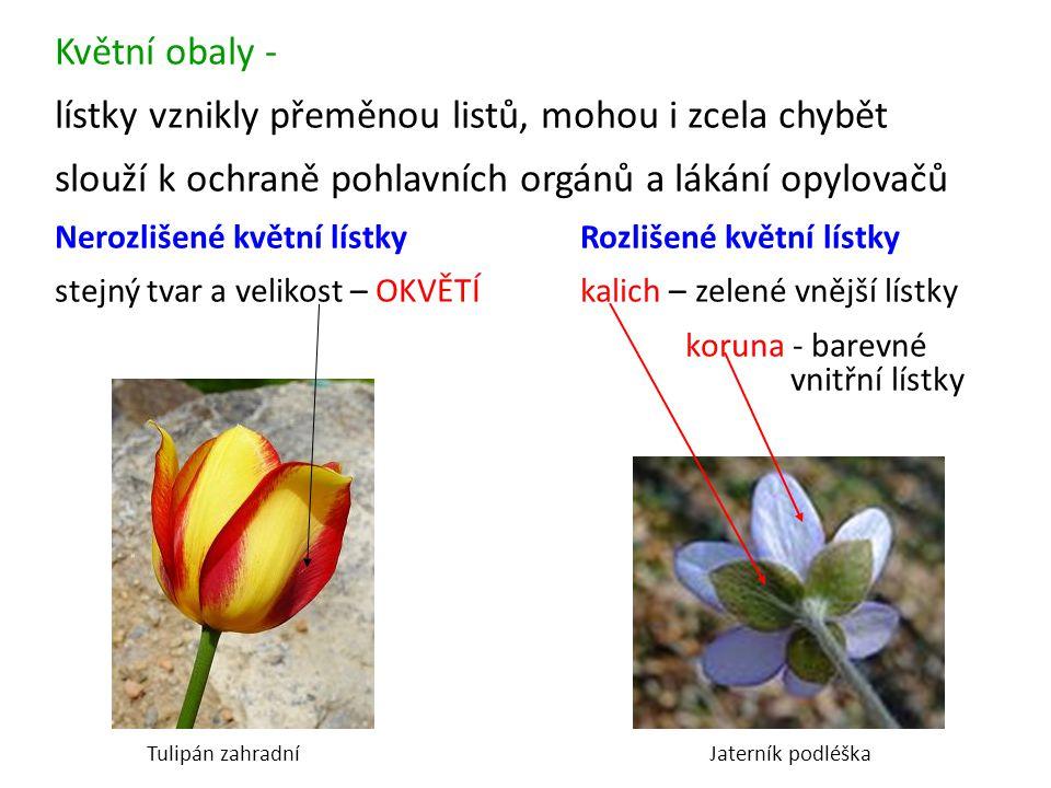 Květní obaly - lístky vznikly přeměnou listů, mohou i zcela chybět slouží k ochraně pohlavních orgánů a lákání opylovačů Nerozlišené květní lístkyRozl