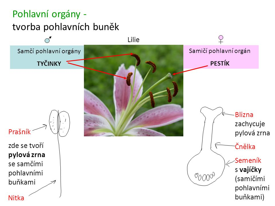 Pohlavní orgány - tvorba pohlavních buněk Samčí pohlavní orgány TYČINKY Prašník zde se tvoří pylová zrna se samčími pohlavními buňkami Nitka Samičí po