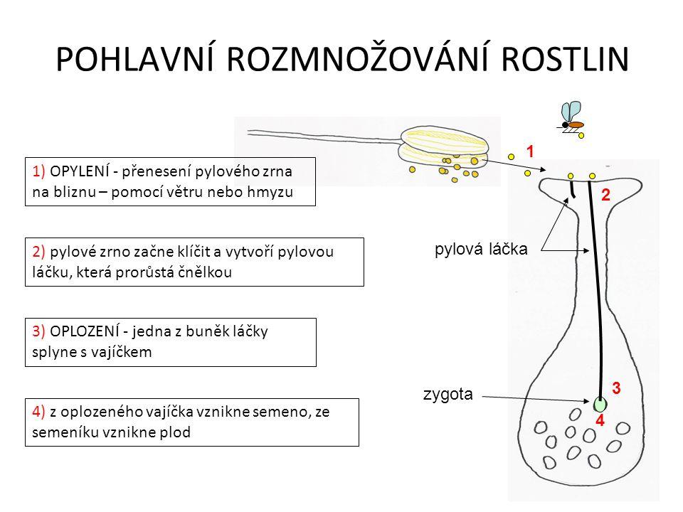 POHLAVNÍ ROZMNOŽOVÁNÍ ROSTLIN 1) OPYLENÍ - přenesení pylového zrna na bliznu – pomocí větru nebo hmyzu 2) pylové zrno začne klíčit a vytvoří pylovou láčku, která prorůstá čnělkou 3) OPLOZENÍ - jedna z buněk láčky splyne s vajíčkem 4) z oplozeného vajíčka vznikne semeno, ze semeníku vznikne plod 1 2 3 4 zygota pylová láčka