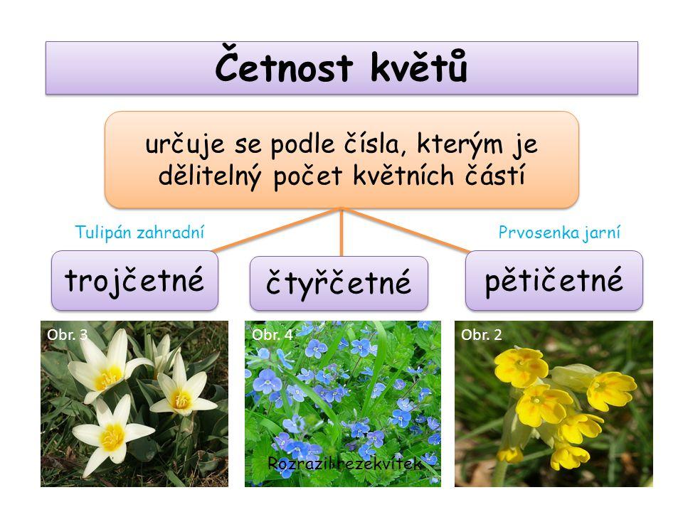 Četnost květů určuje se podle čísla, kterým je dělitelný počet květních částí pětičetné trojčetné čtyřčetné Rozrazil rezekvítek Prvosenka jarníTulipán zahradní Obr.