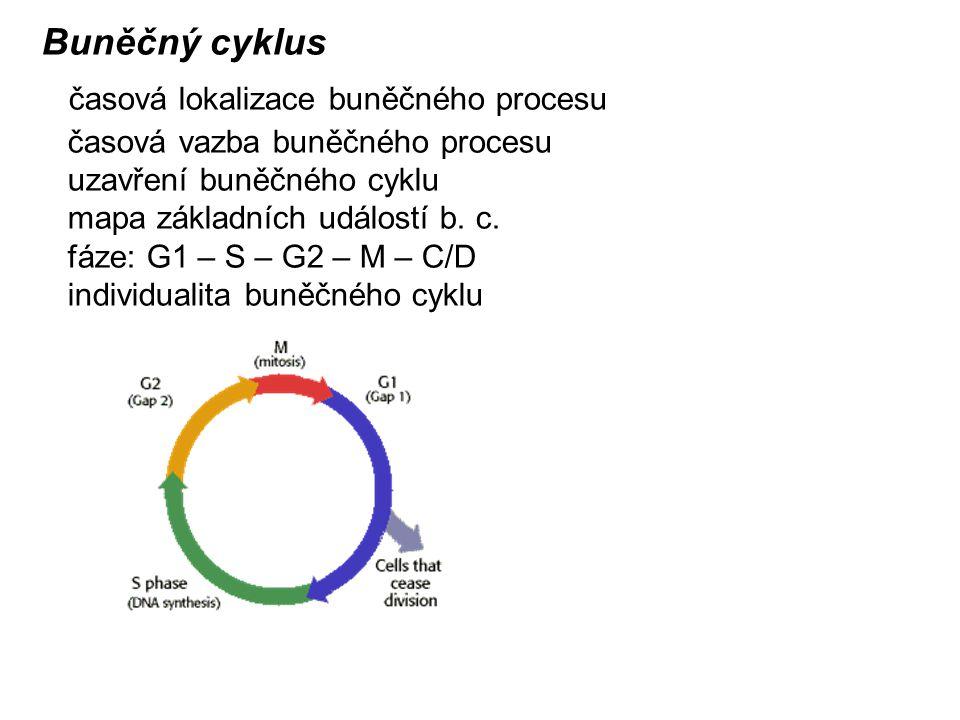 Buněčný cyklus časová lokalizace buněčného procesu časová vazba buněčného procesu uzavření buněčného cyklu mapa základních událostí b.