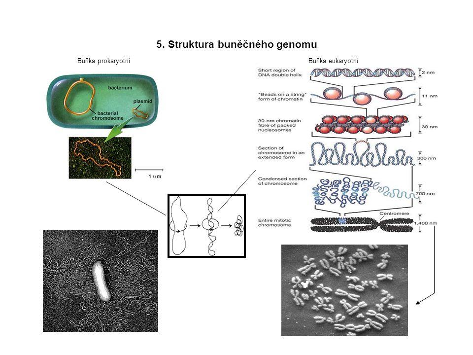 5. Struktura buněčného genomu Buňka prokaryotníBuňka eukaryotní