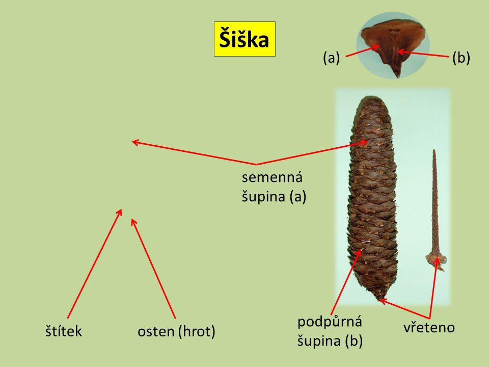Šiška vřeteno podpůrná šupina (b) semenná šupina (a) štítek osten (hrot) (a)(b)