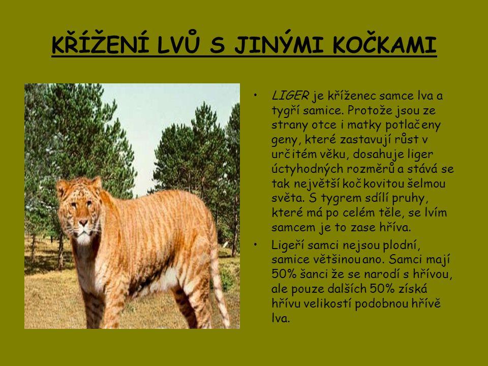 KŘÍŽENÍ LVŮ S JINÝMI KOČKAMI LIGER je kříženec samce lva a tygří samice. Protože jsou ze strany otce i matky potlačeny geny, které zastavují růst v ur