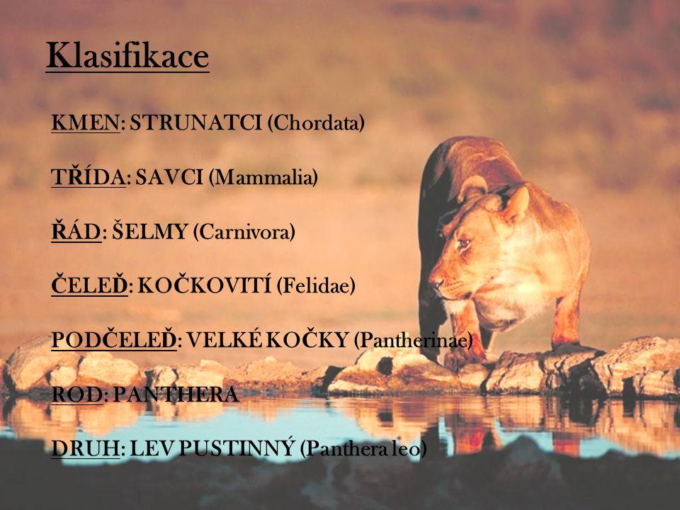 Klasifikace KMEN: STRUNATCI (Chordata) T Ř ÍDA: SAVCI (Mammalia) Ř ÁD: ŠELMY (Carnivora) Č ELE Ď : KO Č KOVITÍ (Felidae) POD Č ELE Ď : VELKÉ KO Č KY (Pantherinae) ROD: PANTHERA DRUH: LEV PUSTINNÝ (Panthera leo)