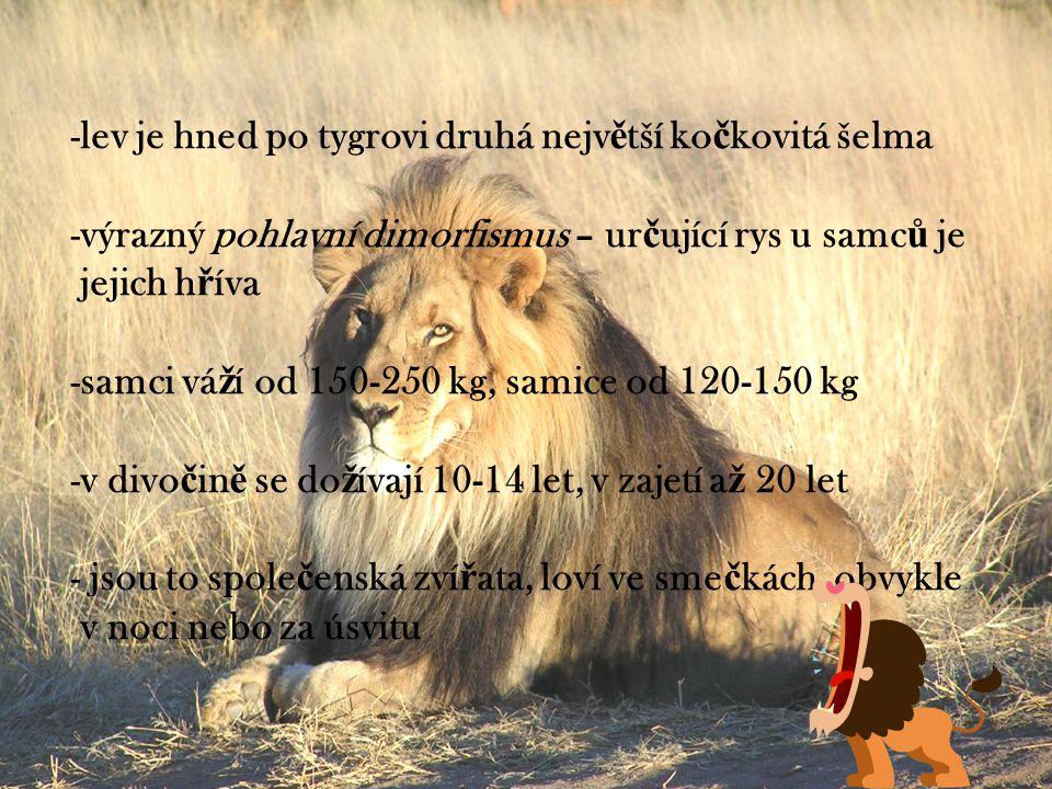 -lev je hned po tygrovi druhá nejv ě tší ko č kovitá šelma -výrazný pohlavní dimorfismus – ur č ující rys u samc ů je jejich h ř íva -samci vá ž í od 150-250 kg, samice od 120-150 kg -v divo č in ě se do ž ívají 10-14 let, v zajetí a ž 20 let - jsou to spole č enská zví ř ata, loví ve sme č kách, obvykle v noci nebo za úsvitu