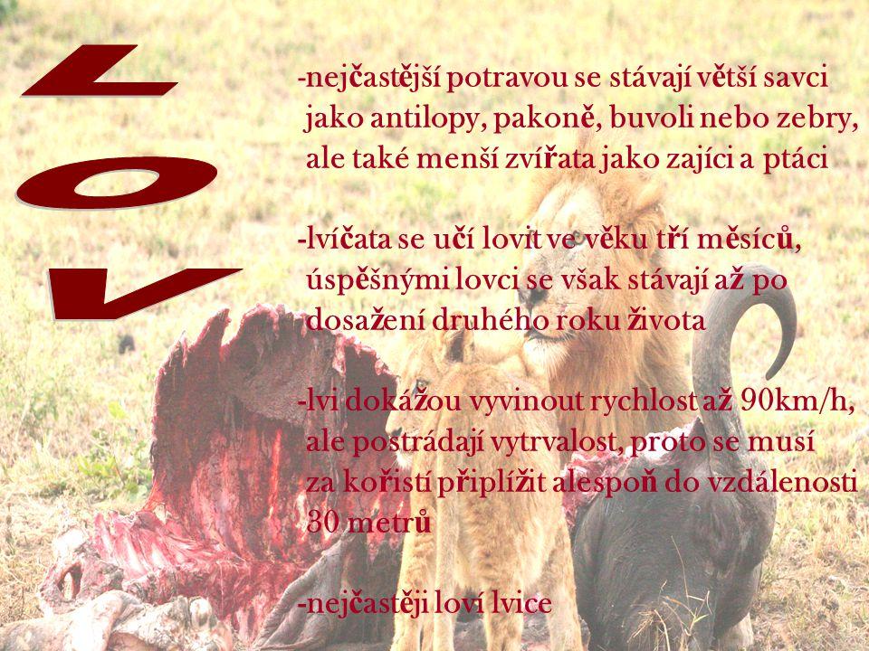 -nej č ast ě jší potravou se stávají v ě tší savci jako antilopy, pakon ě, buvoli nebo zebry, ale také menší zví ř ata jako zajíci a ptáci -lví č ata se u č í lovit ve v ě ku t ř í m ě síc ů, úsp ě šnými lovci se však stávají a ž po dosa ž ení druhého roku ž ivota -lvi doká ž ou vyvinout rychlost a ž 90km/h, ale postrádají vytrvalost, proto se musí za ko ř istí p ř iplí ž it alespo ň do vzdálenosti 30 metr ů -nej č ast ě ji loví lvice