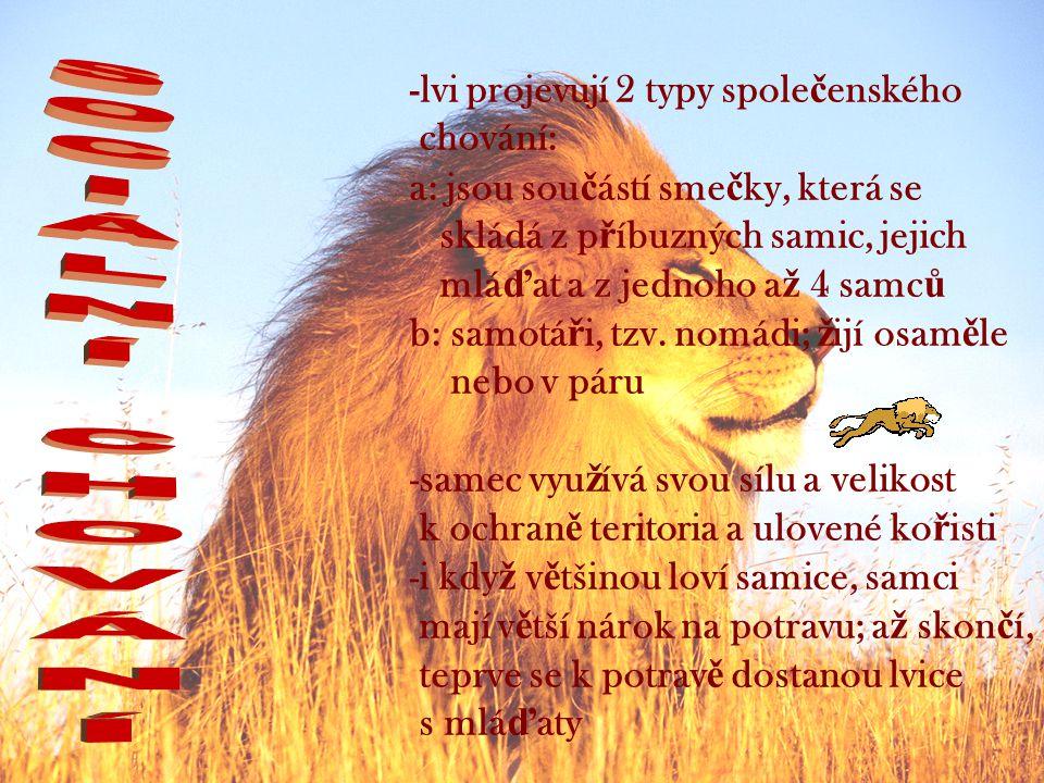 -lvi projevují 2 typy spole č enského chování: a: jsou sou č ástí sme č ky, která se skládá z p ř íbuzných samic, jejich mlá ď at a z jednoho a ž 4 samc ů b: samotá ř i, tzv.