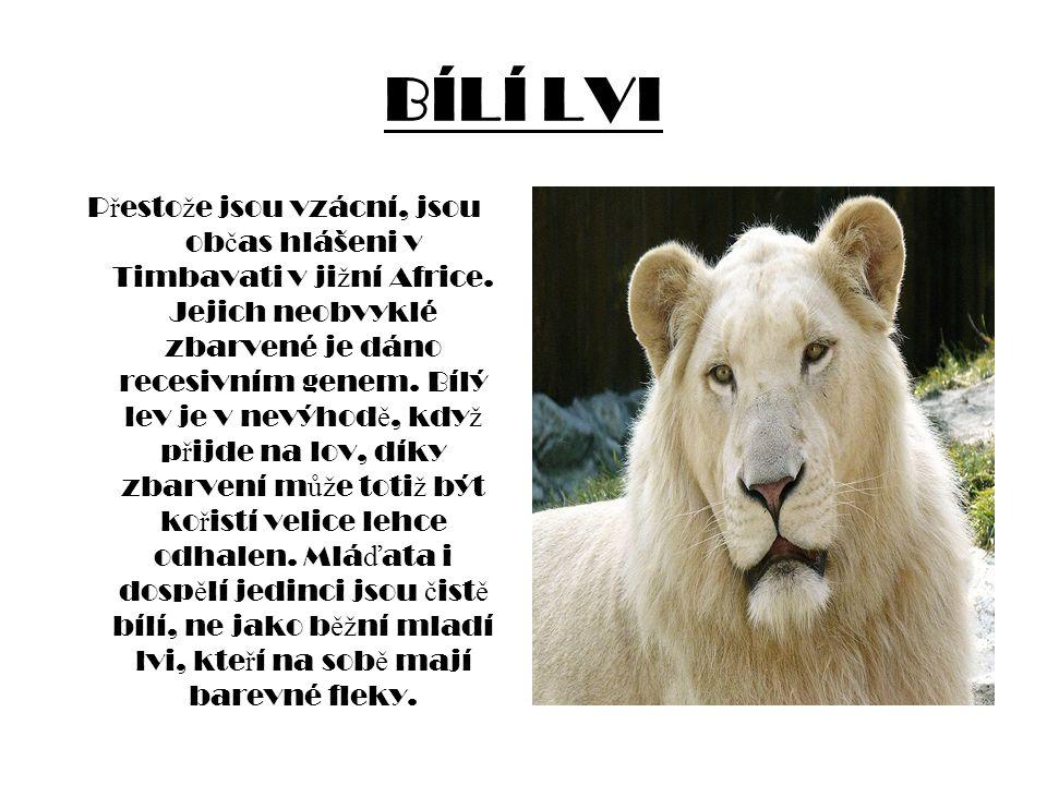 BÍLÍ LVI P ř esto ž e jsou vzácní, jsou ob č as hlášeni v Timbavati v ji ž ní Africe. Jejich neobvyklé zbarvené je dáno recesivním genem. Bílý lev je