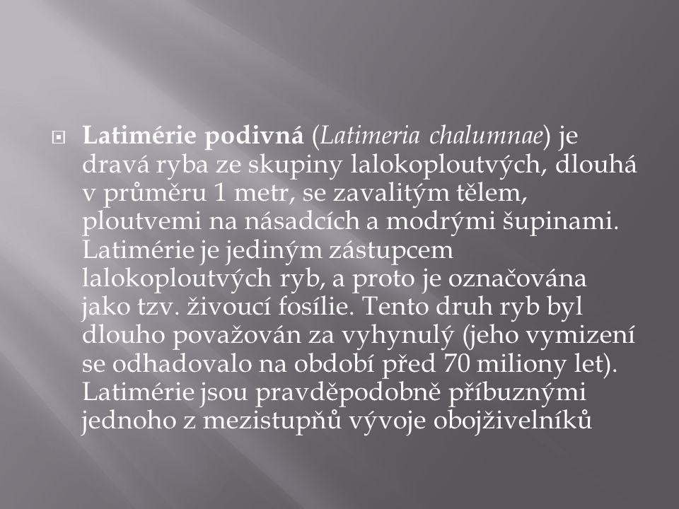  Latimérie podivná ( Latimeria chalumnae ) je dravá ryba ze skupiny lalokoploutvých, dlouhá v průměru 1 metr, se zavalitým tělem, ploutvemi na násadc