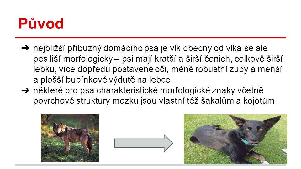 Původ ➔ nejbližší příbuzný domácího psa je vlk obecný od vlka se ale pes liší morfologicky – psi mají kratší a širší čenich, celkově širší lebku, více dopředu postavené oči, méně robustní zuby a menší a plošší bubínkové výdutě na lebce ➔ některé pro psa charakteristické morfologické znaky včetně povrchové struktury mozku jsou vlastní též šakalům a kojotům